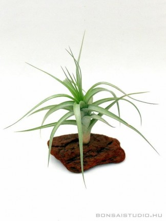 Tillandsia albida -vörösfenyő talpon