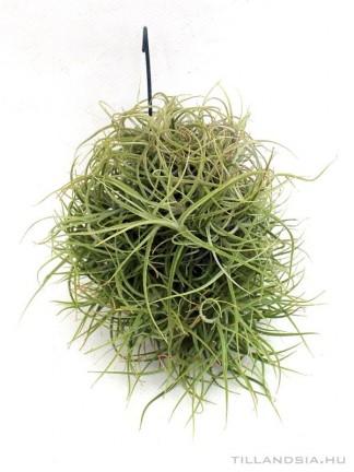 Tillandsia marconaea