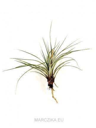 Tillandsia fasciculata XL 02.
