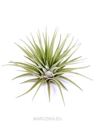 Tillandsia espinosae M