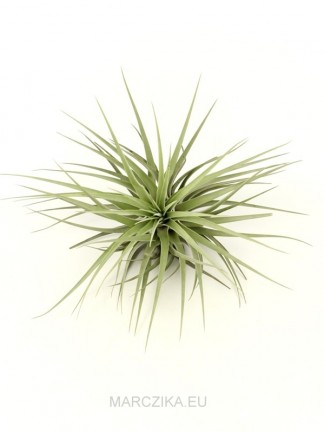Tillandsia espinosae large form XL