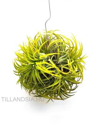 Tillandsia ionantha 'Druid' telep