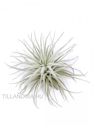 Tillandsia tectorum M