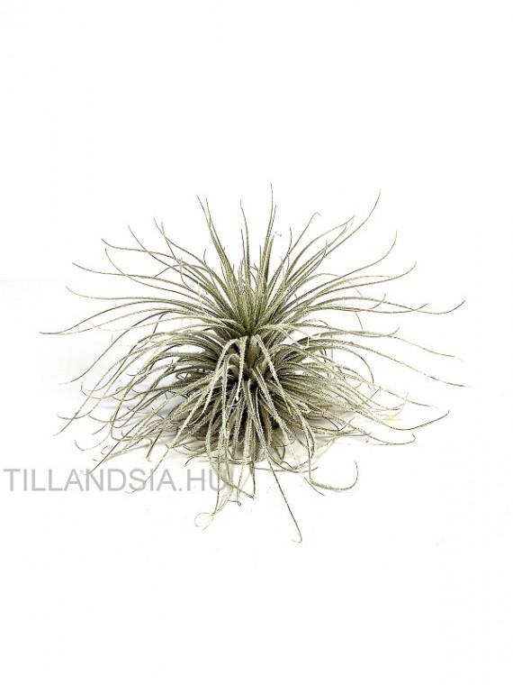 Tillandsia tectorum XL