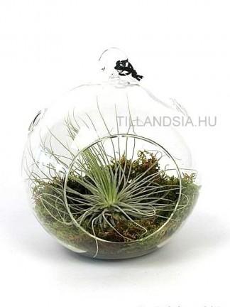 Tillandsia magnusiana 01.