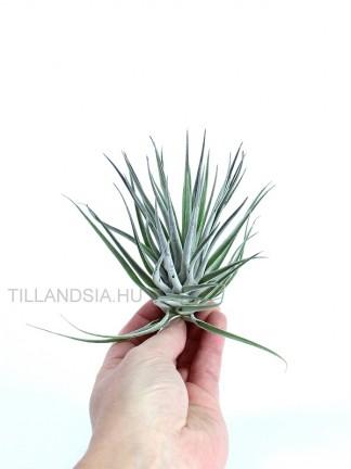 Tillandsia plagiotropica purple form