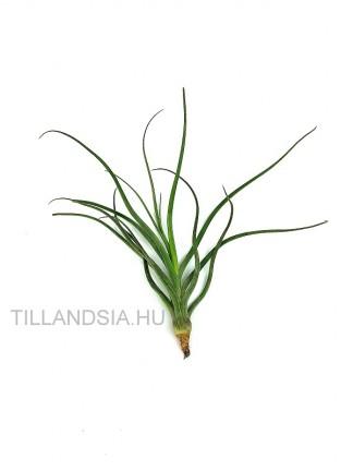 Tillandsia pseudobaileyi hibrid