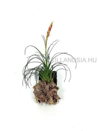 Növények terráriumokba
